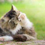 Les chats peuvent aussi avoir des allergies