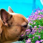 Races de chiens brachycéphales