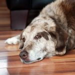 Maladie de Cushing chez le chien: détection et gestion