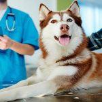 Leishmaniose canine - Symptômes, contagion et traitement