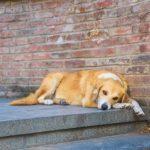 Comportement d'un chien non stérilisé