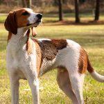 American English Coonhound - Tout sur la race