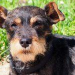 Coagulopathies canines - maladie de von Willebrand