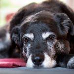Causes de l'atrophie musculaire chez le chien