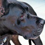 Qu'est-ce que le syndrome de Wobbler et quels sont ses symptômes?