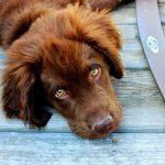 Causes de la jaunisse chez le chien
