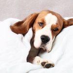 Digestion et indigestion chez le chien