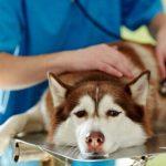 Différence entre chimiothérapie et radiothérapie dans les traitements pour chiens atteints de cancer
