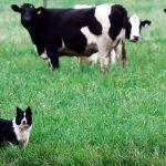 Contagion et symptômes de la néosporose canine