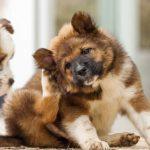 Réaction allergique chez le chien: que faire?