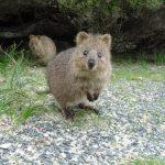 Rencontrez l'animal le plus heureux: le quokka