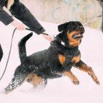 Attaque d'un chien potentiellement dangereux: responsabilité civile