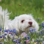 Allergies chez les chiens qui piquent des abeilles: que faire?