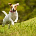 L'huile de foie de morue améliore le système cardiocirculatoire des chiens