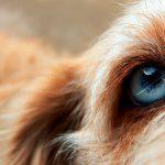 Qu'est-ce que l'atrophie rétinienne progressive chez le chien? Symptômes et types