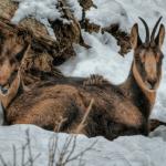 Sarrio, le chamois des Pyrénées