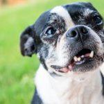 Pourquoi un chien adulte perd-il ses dents?