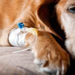 Comment stériliser un chien? Techniques et avantages