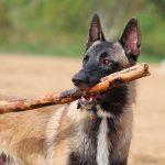 Mon chien mange tout le syndrome de pica?