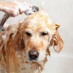 Soins et entretien d'un chien de grande race