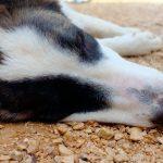 Comment savoir si un chien souffre d'un coup de chaleur? Symptômes et séquelles