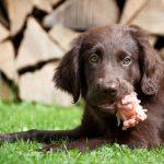 Protéines pour chiens: quels sont les meilleurs?