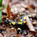 Les salamandres ont-elles des champignons?