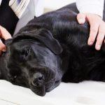 Symptômes d'intoxication alimentaire chez le chien