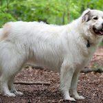 Le chien de montagne des Pyrénées - Caractéristiques de la race et des soins