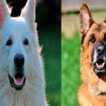 Différences entre le berger allemand et le berger suisse