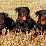 Différences entre Rottweiler américain et allemand