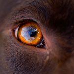 La troisième paupière chez le chien - Modifications et traitements