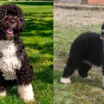 Différences entre le chien d'eau espagnol et portugais
