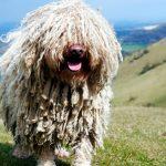 Le chien Puli - Histoire, tempérament et soin de vos dreadlocks