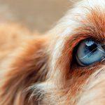 Uvéite canine - Symptômes et traitement