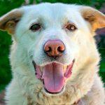 Effets de la castration chez les chiens