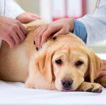 Arthrite canine - Symptômes, diagnostic et traitement