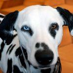 Hétérochromie chez le chien (un œil de chaque couleur)