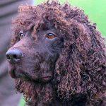 Le chien d'eau irlandais
