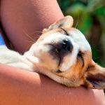 Évanouissement chez les chiens ou syncope - Que faire?