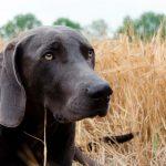 Le danger des pointes pour les chiens