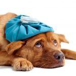 Contagion, symptômes et traitement de la grippe canine