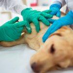 Traitements vétérinaires des cellules souches