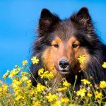 Allergie au pollen chez les chiens - Symptômes et traitement