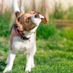 Mon chien secoue beaucoup la tête - Causes et solution