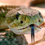 Que faire si un serpent mord mon chien