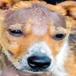 Chute de cheveux chez le chien et plaques chauves