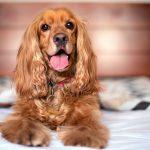 La chute des poils chez les chiens, quand et combien de temps dure-t-elle?