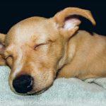 De quoi rêvent les chiens lorsqu'ils dorment?