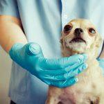 Oreillons chez le chien (sialocèle cervicale)